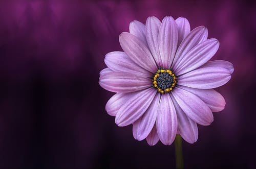 flower-purple-lical-blosso